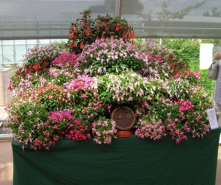 "Talk-""Growing Fuchsias For the Garden & Show Bench"" by Joy Craig"" @ St Lawrence Church Hall 